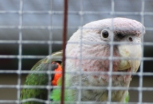 PBFD, a serious threat for Cape Parrots in South Africa