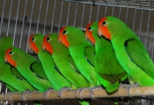 Interview with the successful breeder of Red-headed Lovebirds Dominique Veeckmans. PART I
