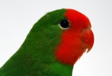 Interview with the successful breeder of Red-headed Lovebirds Dominique Veeckmans. PART II