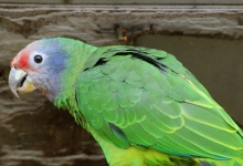 Dutch breeders of Amazona parrots have a possibility to participate on research of skewed sex ratio in birds