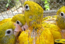 Márcia Weinzettl talks about the hand feeding of parrots and successful breeding of Golden Conures. PART II