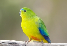 Is this the end for Orange-bellied parrots in the wild?