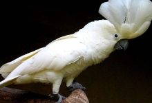 Tony Silva NEWS: Breeding of Umbrella Cockatoos. PART I