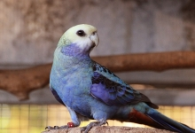 Jim Van Reyk: Aviary notes on the Blue-cheeked Rosella. PART I