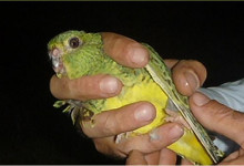The Night parrot is not extinct. After more than a century, a living specimen was captured in Queensland