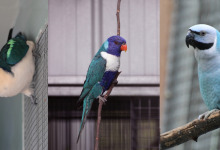 Blue jewels of Australian aviculture