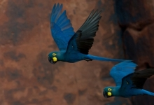 Lear's Macaws in ACTP