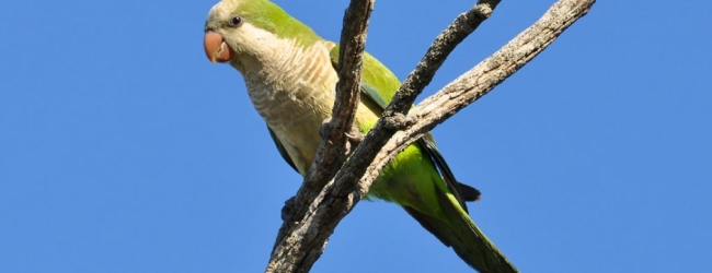 What are the factors determining hiearchy in a colony of Monk parakeets?