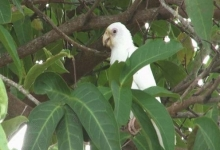 White mutation of Seychelles parrot found on Praslin Island