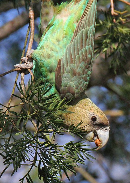 Cape Parrot Yellowwood