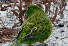 Western Ground Parrots under threat from bushfires in Western Australia