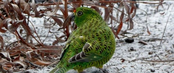Western Ground Parrots under threat from bushfires in Western Australia