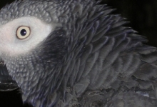 What do we know about breeding biology of the Timneh parrot?