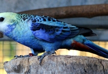 Jim Van Reyk: Aviary notes on the Blue-cheeked Rosella. PART II