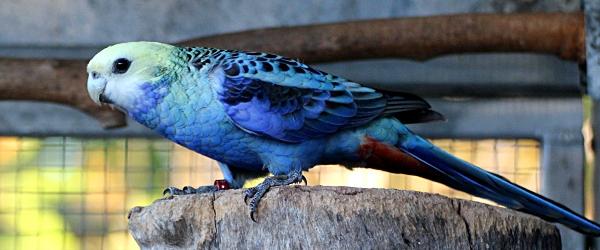 Jim Van Reyk: Aviary notes on the Blue-cheeked Rosella. PART II