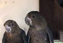 Glossy Black Cockatoos in ACTP