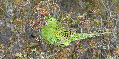 Is there still any Western Ground Parrot at Fitzgerald River National Park?