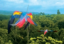 ARCAS released the first captive bred Scarlet Macaws in Guatemala