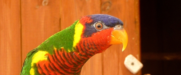 Latest taxonomy news in lories and lorikeets