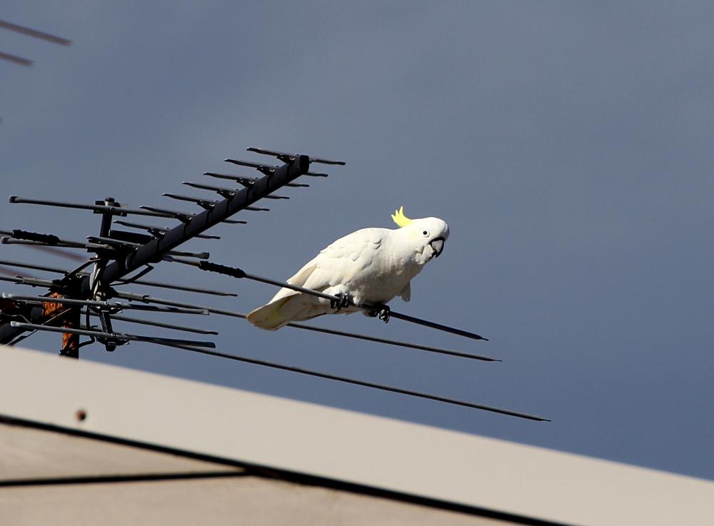 kakadu antena