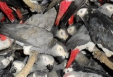 Thousands of birds are illegally traded in Jakarta