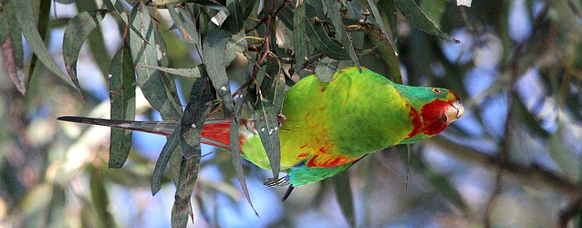 Breeding and biology of the Swift Parrot. PART II