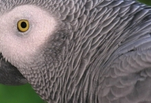 African Grey parrots at the edge of extinction in Ghana