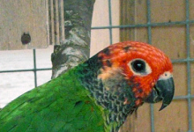 Breeding of the Rose-fronted Conure. PART II