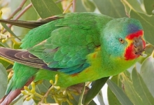 "The Swift Parrot was reclassified to ""Critically endangered"" category in the IUCN Red List"