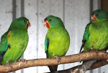 Breeding and biology of the Swift Parrot. PART I