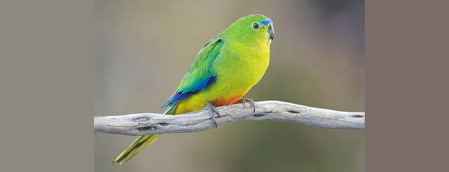 Australian conservationists are going to release 13 Orange-bellied Parrots to the wild