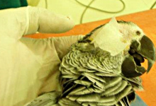 AVIAN MEDICINE AND CATARACT SURGERY ON AFRICAN GREY PARROT