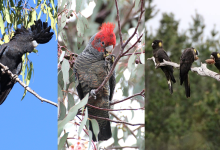 PHOTOREPORT: Black cockatoos in the wild