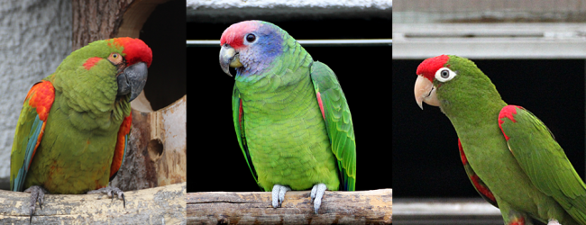 "Q & A: ""What's the difference in diet for Amazons, Macaws and Conures?"""
