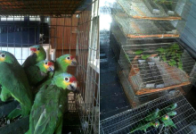 235 parrots and 300 passerines confiscated in Mexico
