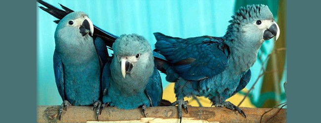 The world Spix's Macaws population comprises 127 birds, 20 youngers have been bred in this year