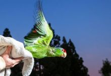 Amazon parrots returned back into the wild in USA