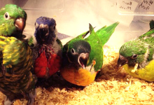 A Guide to Incubation and Hand raising Lories. PART I