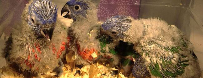 A Guide to Incubation and Hand raising Lories. PART II