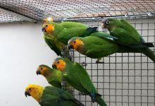 "Q & A: ""At what age is a pair of parrots ready to breed?"""