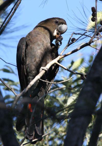 glossy-cockatoo-calyptorhynchus-lathami-kangaroo-island