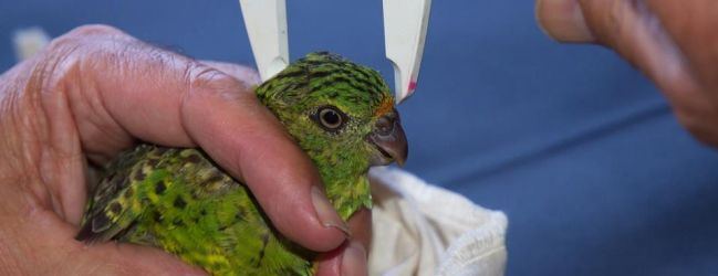 Two critically endangered Western Ground Parrots have died at Perth ZOO