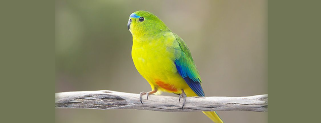 Sudden death of 14 critically endangered Orange-bellied Parrots at the Taroona breeding facility. Cause? Rats.