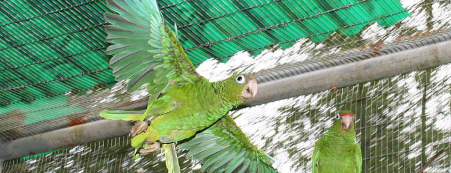 Wild population of the Puerto Rican Amazon is recovering rapidly. Sixteen captive bred birds were released.