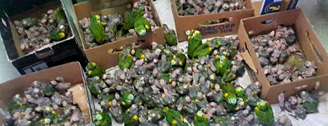 310 Blue-fronted Amazons confiscated in Argentina
