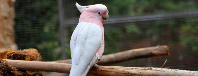 Biology and breeding of the Major Mitchell's Cockatoo. PART III