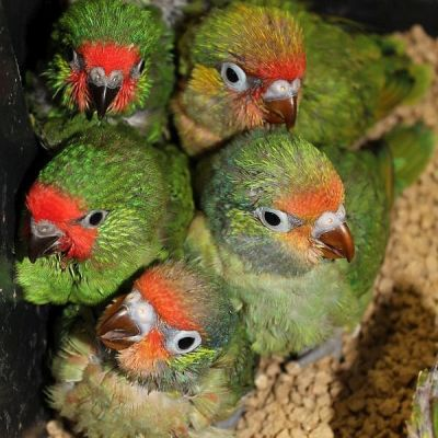 Varied and Little Lorikeet chicks bred by Simon