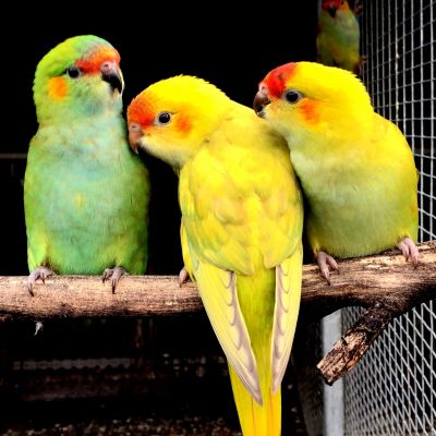 Young mutation and normal coloured Purple-crowned Lorikeets bred by Simon