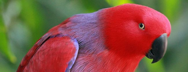 "Q & A: ""Is it better to breed Eclectus parrots in pairs or in a colony?"""