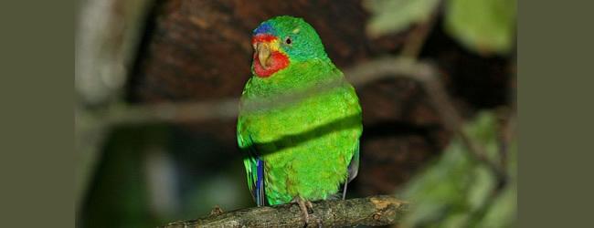 Swift Parrot breeding in Australia. PART I